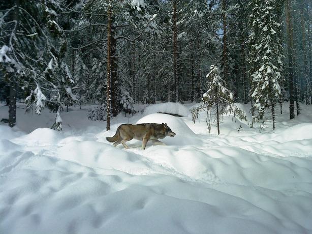 Wolf - H Carlberg 2009