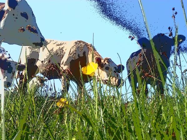 Kor / Cows / mucca H Carlberg