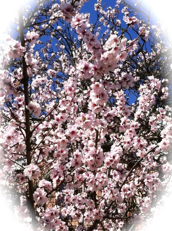 Blommande körsbärsträd HCG 2013