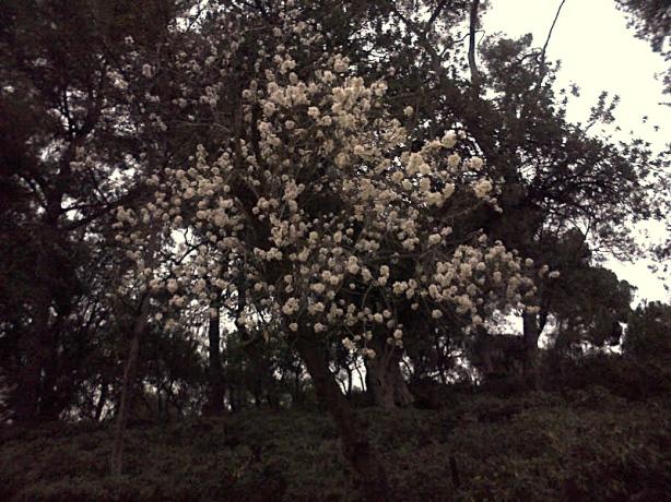 albero di mandorla Giulio Rossi