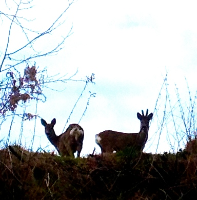 Carne di cervo - Rådjur - Deer