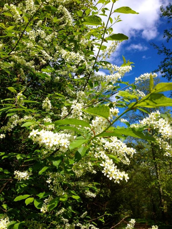 Blommande hägg H Carlberg