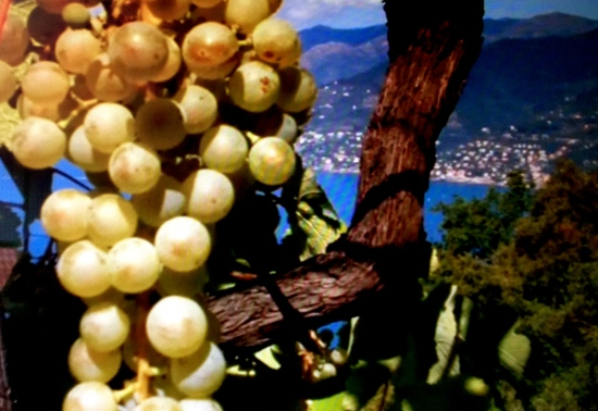 Harvesting of grapes in southern Liguria